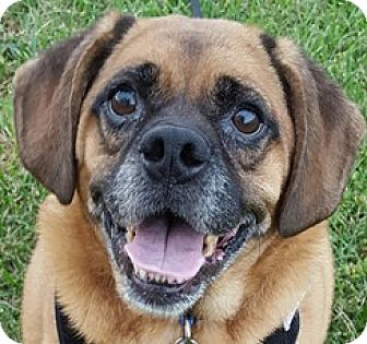 Pug Dog for adoption in Bloomington, Illinois - Parker