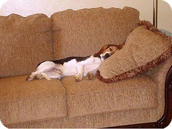 Beagle/Basset Hound Mix Puppy for adoption in Dumfries, Virginia - Atlas