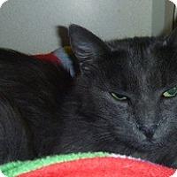 Domestic Longhair Cat for adoption in Hamburg, New York - Earl