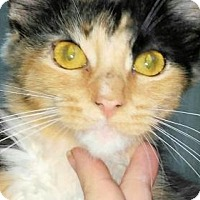 Adopt A Pet :: Patches - Rocky Hill, CT