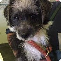 Adopt A Pet :: Piper - Redondo Beach, CA