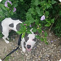 Pit Bull Terrier Dog for adoption in Fort Wayne, Indiana - Missy