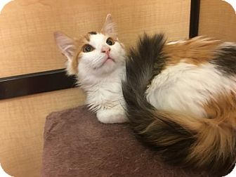 Calico Cat for adoption in Taylor, Michigan - Daisy