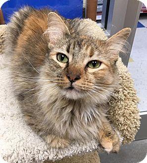 Domestic Longhair Cat for adoption in San Francisco, California - Ginger