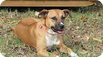 Boxer Mix Dog for adoption in Aurora, Colorado - Tara