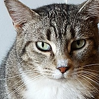 Domestic Shorthair Cat for adoption in Rockford, Illinois - Tina