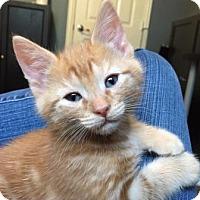 Domestic Shorthair Kitten for adoption in Richardson, Texas - Mason