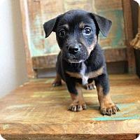 Adopt A Pet :: Tracker - Allen, TX