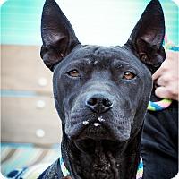 Adopt A Pet :: Jedi - Phoenix, AZ