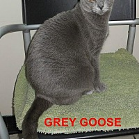 Adopt A Pet :: Gray Goose - Satellite Beach, FL