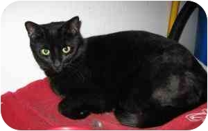 Domestic Shorthair Cat for adoption in Cleveland, Ohio - Mulch