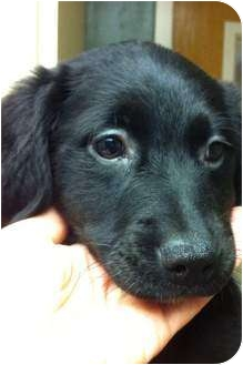 Labrador Retriever Mix Puppy for adoption in Hagerstown, Maryland - Stormi
