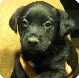 Shepherd (Unknown Type) Mix Puppy for adoption in Russellville, Kentucky - Annie