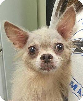 Chihuahua Mix Dog for adoption in geneva, Florida - Stevie