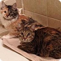 Domestic Mediumhair Kitten for adoption in Raritan, New Jersey - Lola & Lily