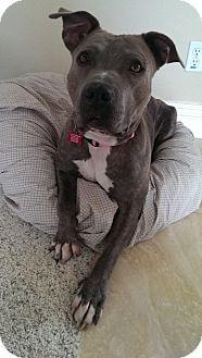 Pit Bull Terrier Mix Dog for adoption in Irvine, California - AMBER
