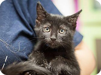 Domestic Shorthair Kitten for adoption in Dallas, Texas - Buddy