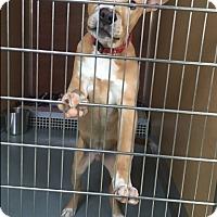 Adopt A Pet :: Cameron - St. Charles, MO