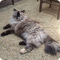 Himalayan Cat for adoption in New York, New York - Ruby