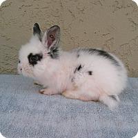 Adopt A Pet :: Pebbles - Bonita, CA