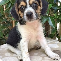 Adopt A Pet :: Kennedy - 10 weeks old - Charleston, SC