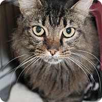 Maine Coon Cat for adoption in Cincinnati, Ohio - Shizzle
