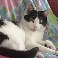 Domestic Mediumhair Cat for adoption in Harrison, New York - Panda