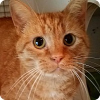 Domestic Shorthair Cat for adoption in Colfax, Iowa - Boulder