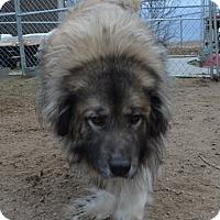 Great Pyrenees/Shepherd (Unknown Type) Mix Dog for adoption in Peyton, Colorado - Buddha