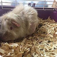 Guinea Pig for adoption in Bryan, Ohio - pig