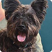 Adopt A Pet :: Figaro 215662 - Petaluma, CA