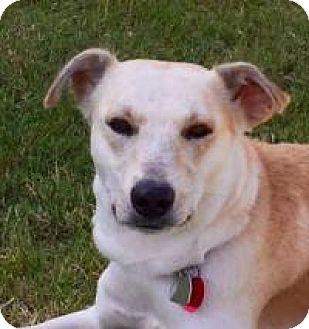 Labrador Retriever/Whippet Mix Dog for adoption in Yukon, Oklahoma - Malachi