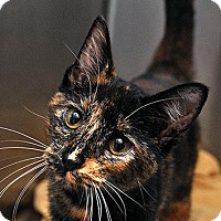 Calico Cat for adoption in Fort Leavenworth, Kansas - Blossom