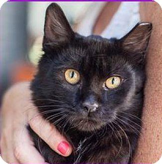 Domestic Shorthair Cat for adoption in St Helena, California - Noir