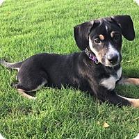 Adopt A Pet :: Piper - Memphis, TN