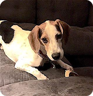 Beagle Dog for adoption in Houston, Texas - Jason