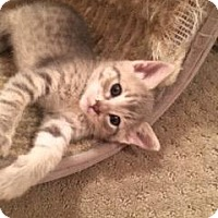 Domestic Shorthair Kitten for adoption in Parlier, California - Suzie