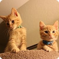American Shorthair Kitten for adoption in San Jose, California - Tao