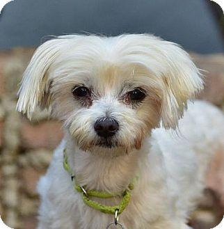 Maltese Dog for adoption in Marina Del Ray, California - NOODLE