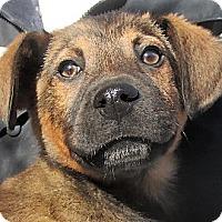 Adopt A Pet :: Layne - Germantown, MD