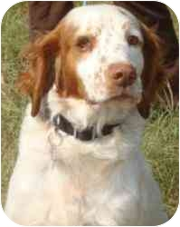 Brittany Dog for adoption in Buffalo, New York - Jaxon-NY