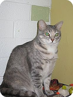 Domestic Shorthair Cat for adoption in Winston-Salem, North Carolina - Chloe