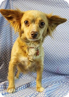 Chihuahua Mix Dog for adoption in Westminster, Colorado - Betty
