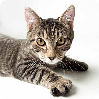 Domestic Shorthair Kitten for adoption in Rockaway, New Jersey - Spiedy