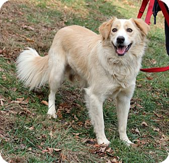 Border Collie/Golden Retriever Mix Dog for adoption in Larchmont, New ...