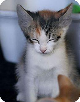 Domestic Shorthair Kitten for adoption in Rocklin, California - Jitterbug
