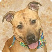 Adopt A Pet :: Autumn - Cincinnati, OH