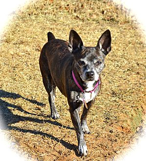 Boston Terrier/Chihuahua Mix Dog for adoption in Blanchard, Oklahoma - Tinkerbell