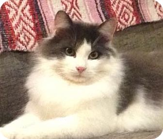 Domestic Mediumhair Cat for adoption in Thornhill, Ontario - Bogart