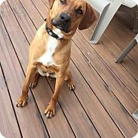 Adopt A Pet :: Leon - Rockville, MD